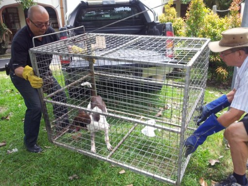 Trapping Strays In Sandakan