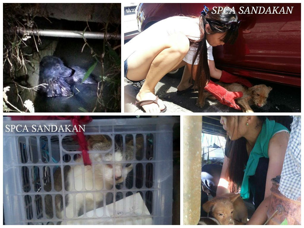 Animal rescue with SPCA Sandakan