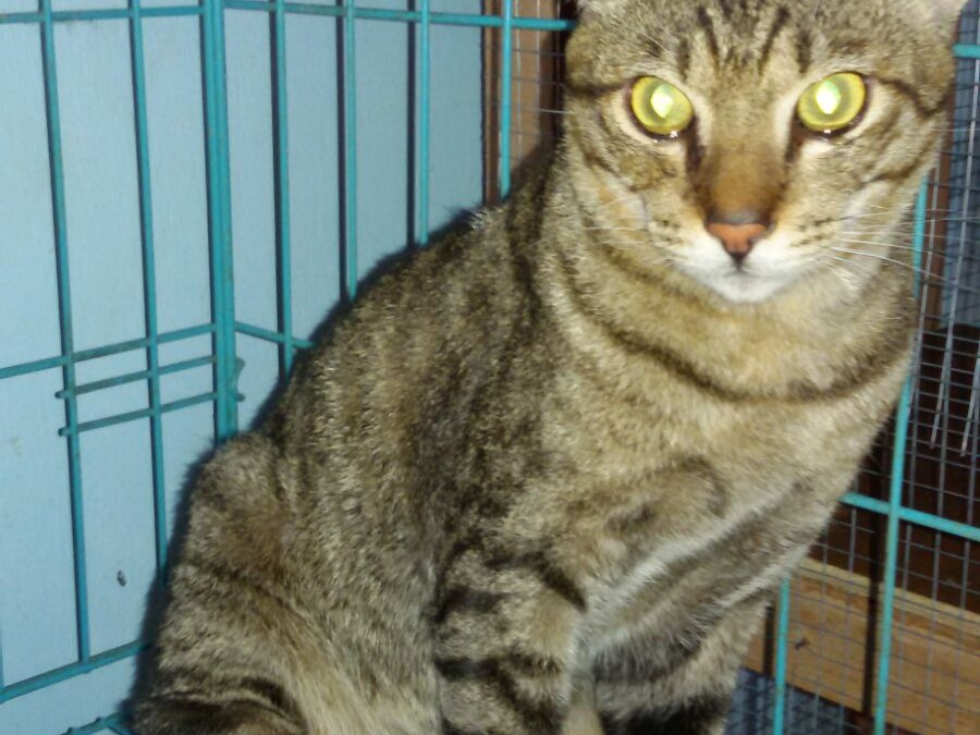 Tabby Cat May Be An Abuse Victim