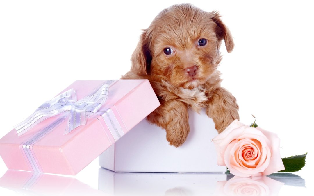 Valentine Puppy? Think Again!